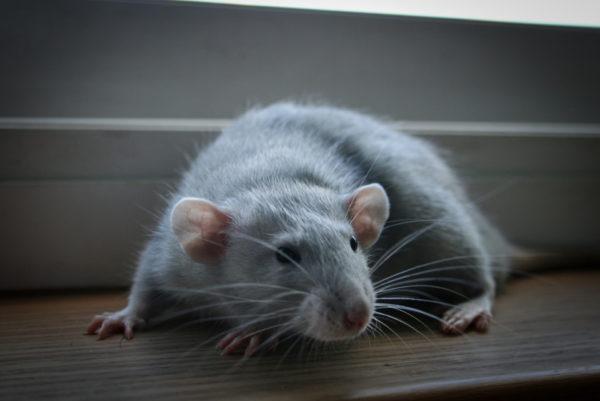Крыса породы дамбо окрас голубая норка