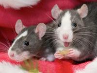 Крыса улыбается