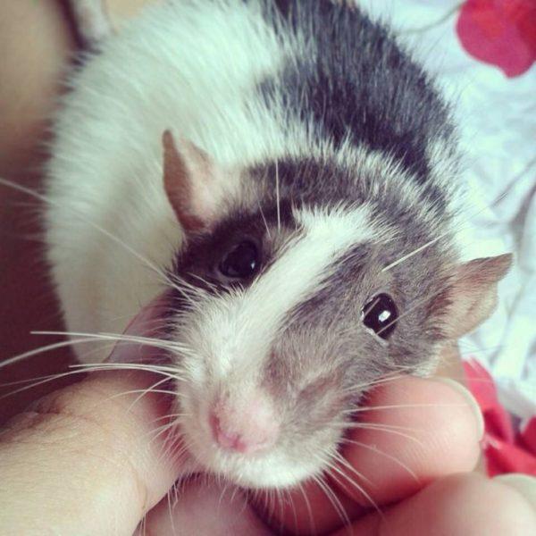 Крыса болдеет когда ее гладят