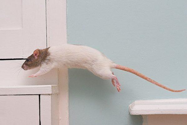 Крыса прыгает