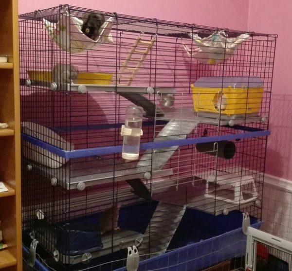 Обустроенная клетка для крысы