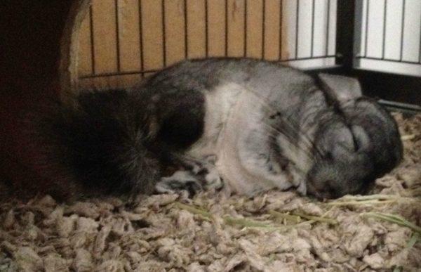 Беременная шиншилла спит