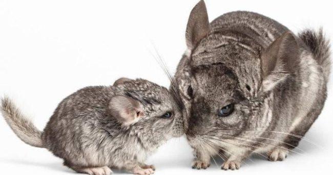 Шиншилла-мама и ее мылыш