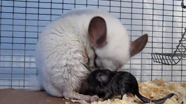 Шиншилла родила щенка