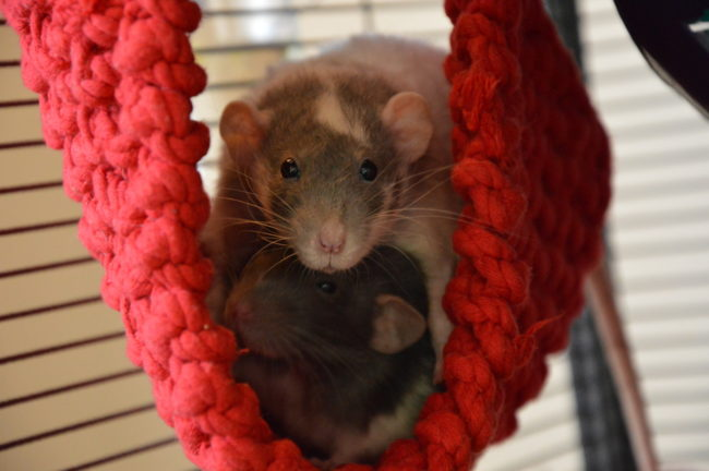 Две крыса в гамаке