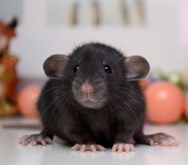 Крыса с круглыми ушами