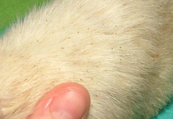 Заражение блохами у крысы