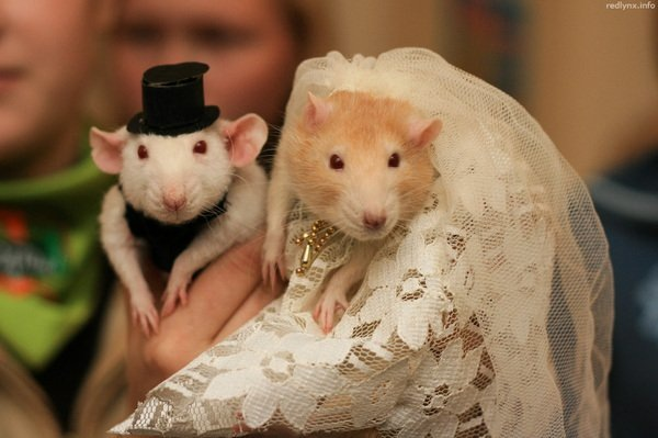 Крыса муж и жена