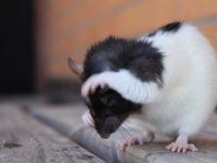 Крыса чешет за ухом