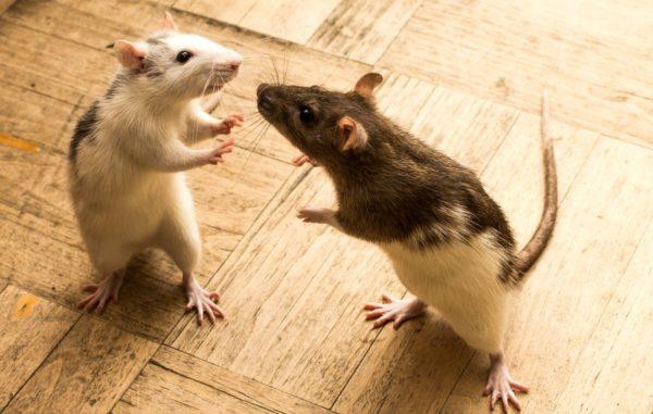 Крысы подрались