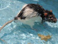 Крыса купается в воде