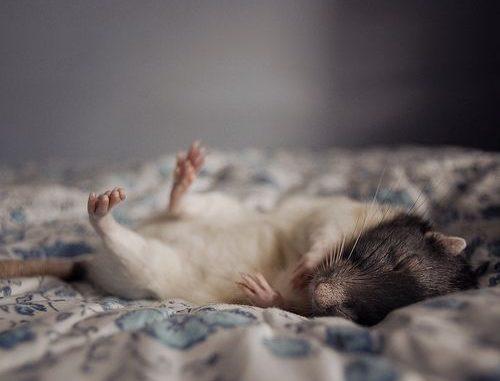 Крыса забавно спит на кровати
