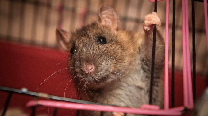 Крыса вылазит из клетки