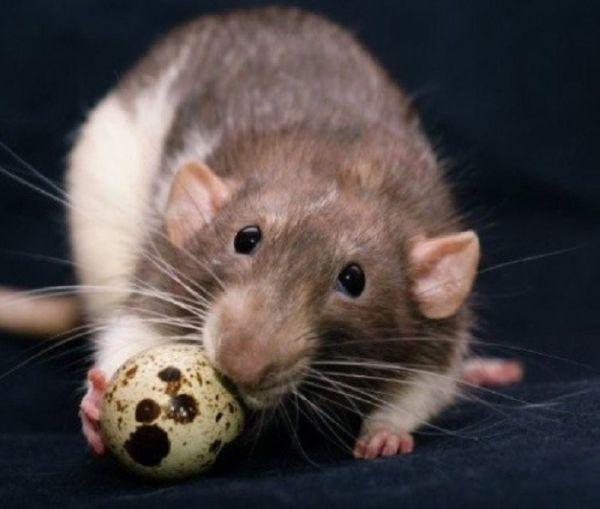 Крыса ест перепелиное яйцо
