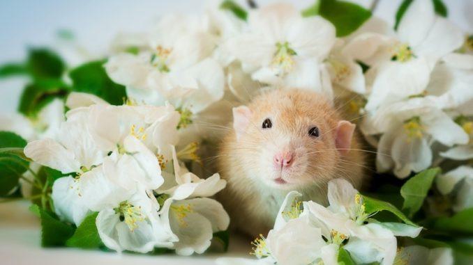 Крыса в цветах