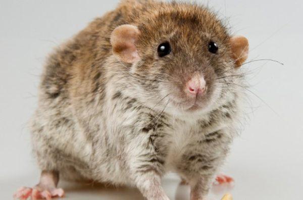 Как выглядит крыса породы Рекс