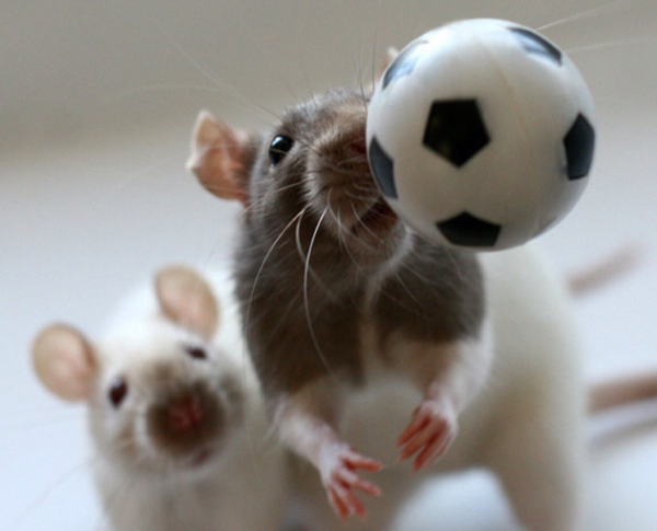 Крыса играет в мяч