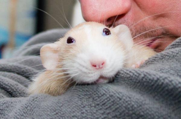 Крысе нравится сидеть на плече у хозяина