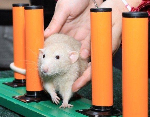 Крыса проходит препятствие