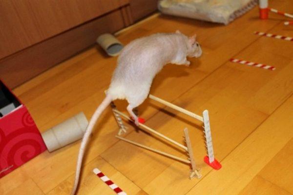 Крыса прыгает через барьер
