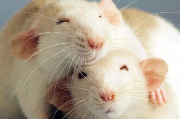 Две однополые крысы