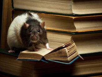 Крыса читает книгу