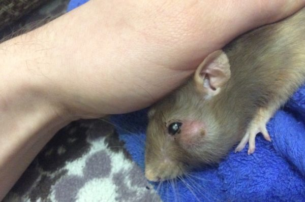 Абсцесс у крысы