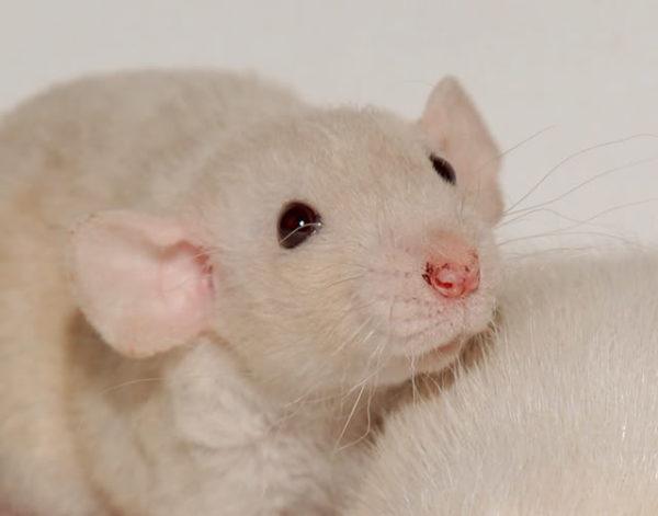 У крысы выделяется из носа порфирин