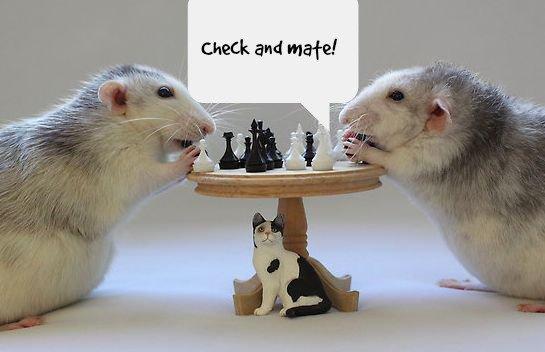крысы играют в шахматы