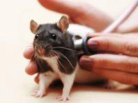 Крыса на приеме у ветеринара