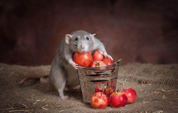 Крыса и черешня