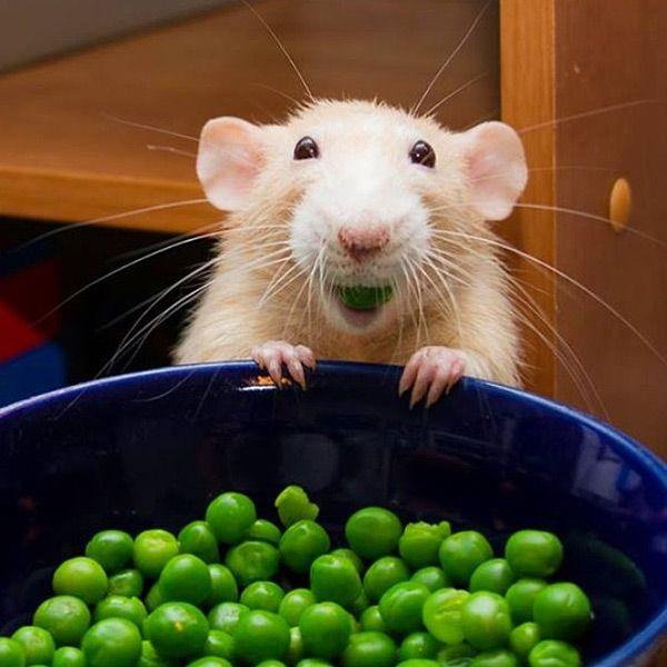 Крыса ест зеленый горошек