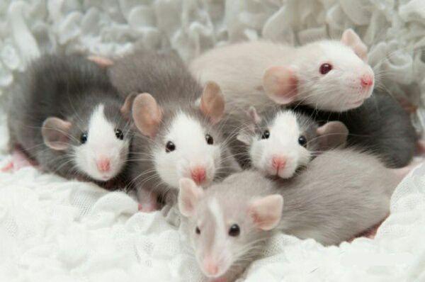 Малыши крысята дамбо