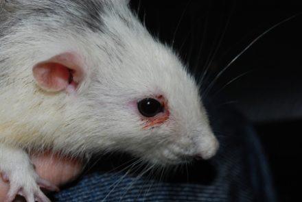 Восполнение глаза у крысы