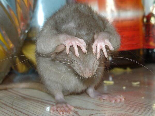 Очень страшная крысы