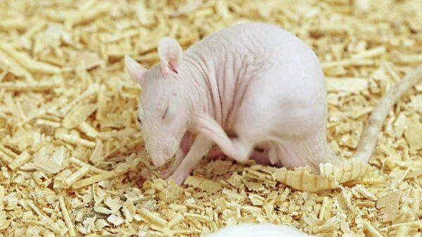 Крыса чешется - признак аллергии