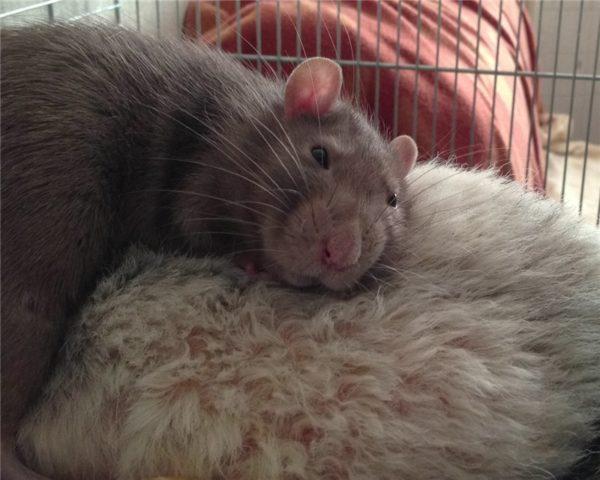Крыса лежит вялая и грустная