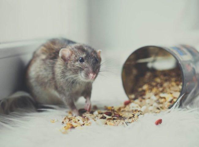 Крыса и банка с кормом