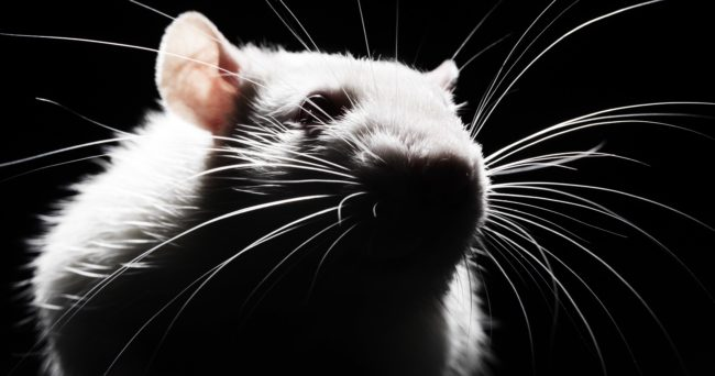 Черно-белое фото крысы