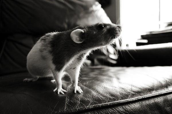 Крыса сидит на диване