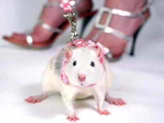 Крыса на шлейке