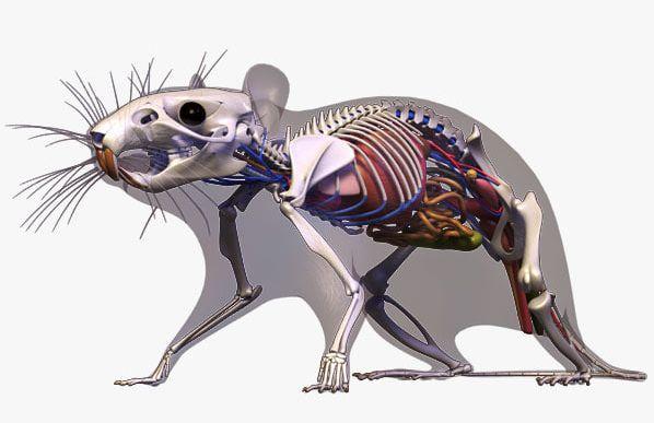 Анатомическое строение крысы