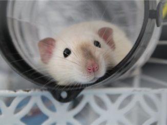 Крыса лежит в тунеле