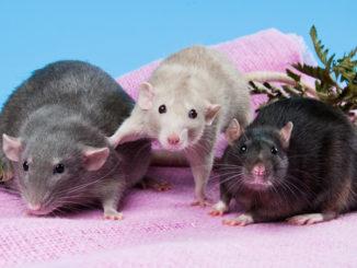 Три крысы