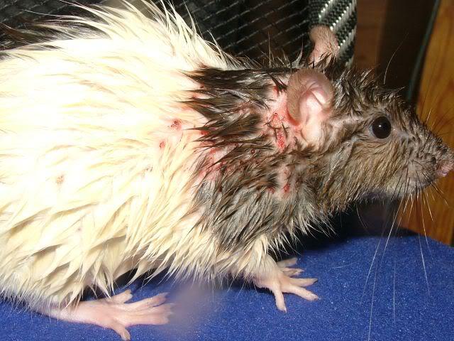 Клещ у крысы