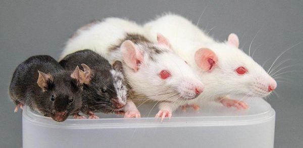 как отличаются крысы и мыши по размеру