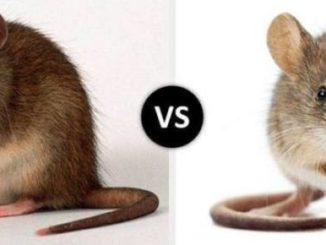 Крыса и мышь на одном фото