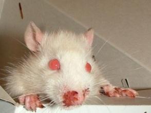 Порфирин из носа у крысы