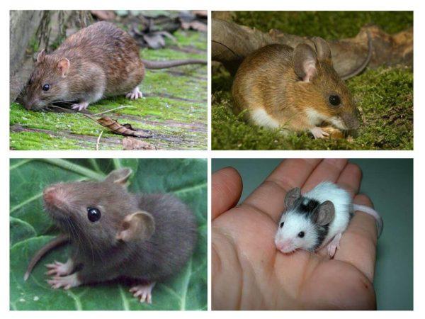 Как отличается крысенок от мышонка