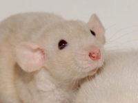 Порфирин у крысы